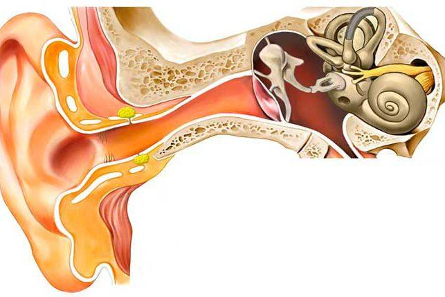Anatomía del oído   Comaudi